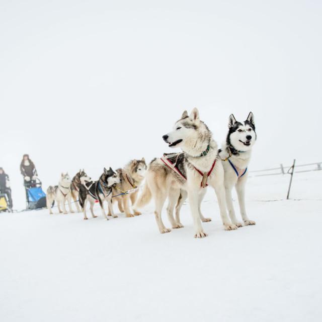Hundeschlittenfahrt im Waldviertel