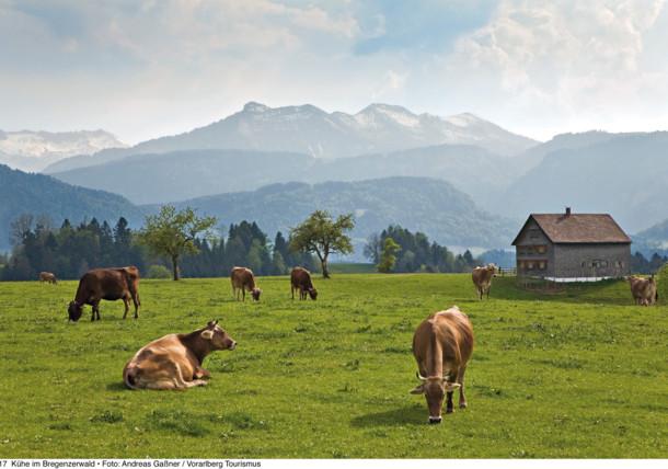 Vaches dans les alpages