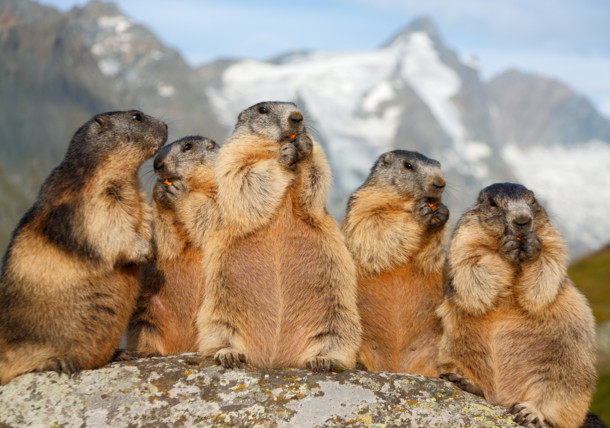 Marmots at Großglockner High Alpine Road