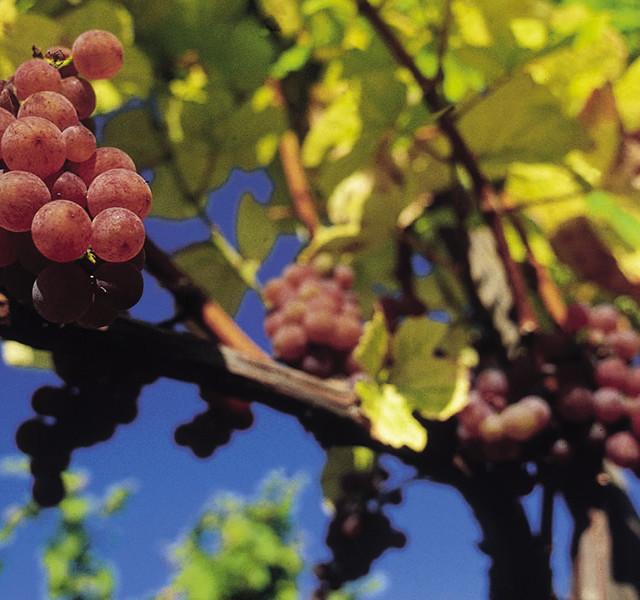 Wein aus dem Schilcherland, Steiermark