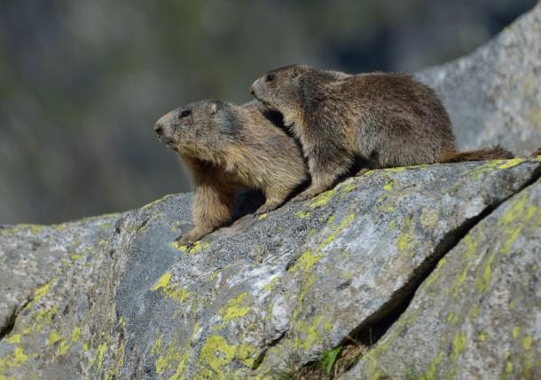 Parcul Național Hohe Tauern – marmote