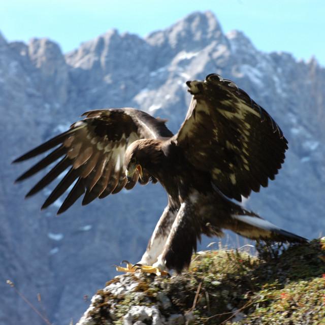 Nature Watch Steinadler im Karwendel