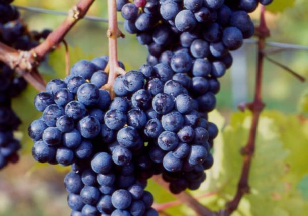 Type of grape Zweigelt