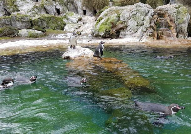 Tučňáci v ZOO Schönbrunn