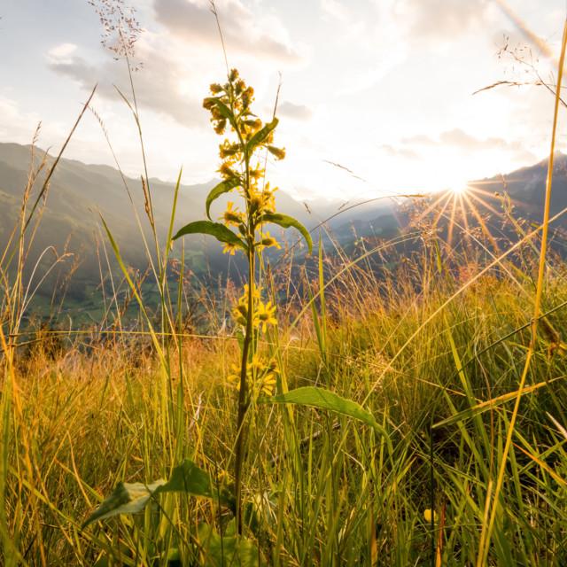 Naturaufnahmen - Österreichs Pflanzenwelt