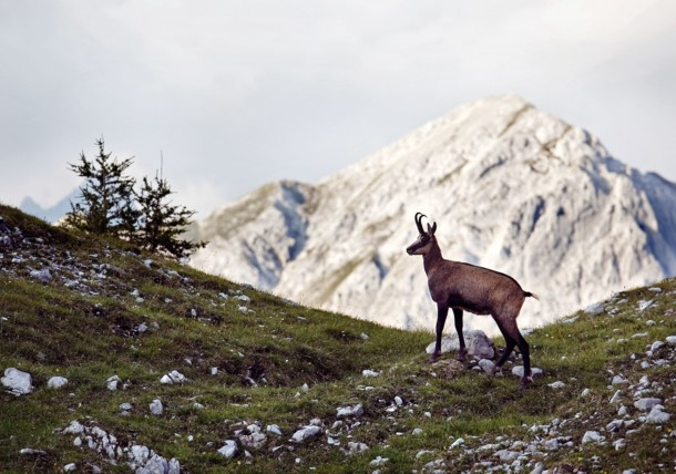Chamois in the Karwendel Mountains