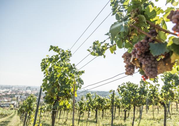 Viennese art of wine
