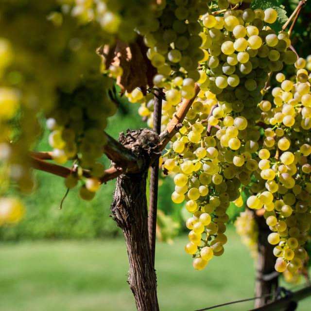 Weinreben in den Weingärten des Weingut Cobenzl in Wien