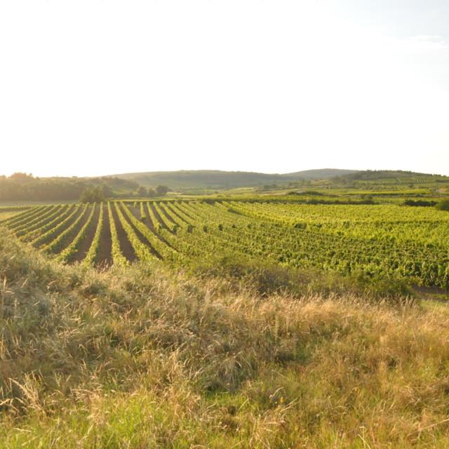 Wein im Retzer Land