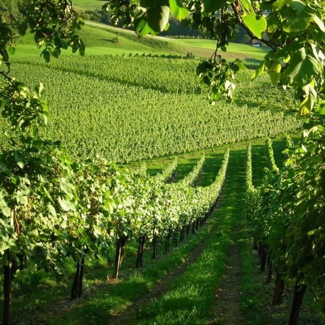 Weingärten in Ratsch