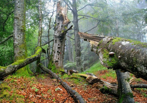 Starý bukový les s mrvými stromy v národním parku Kalkalpen