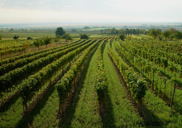 Weingärten im Neusiedlersee-Hügelland