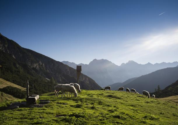 Schafe in Tirol