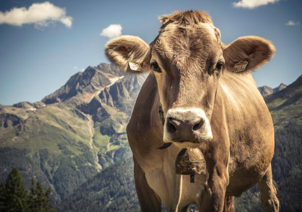 Kuh auf der Putzen Alpe