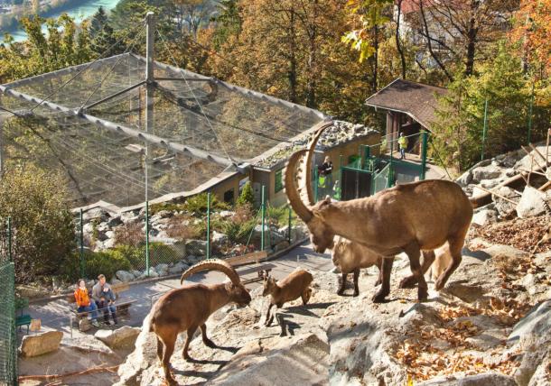 Alpenzoo Innsbruck - Alpine ibexes