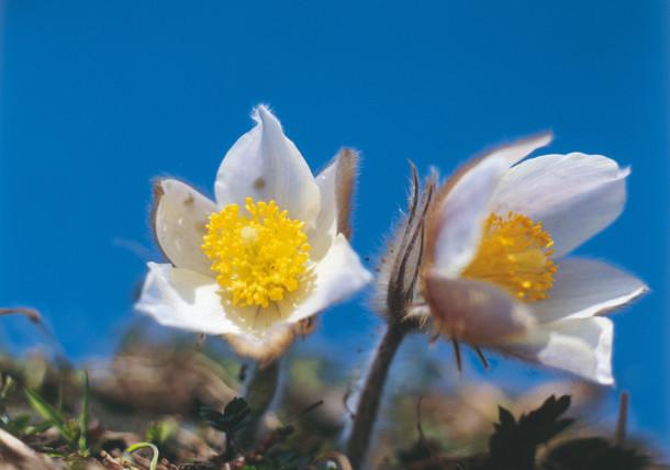 Kuhschelle / Blumen