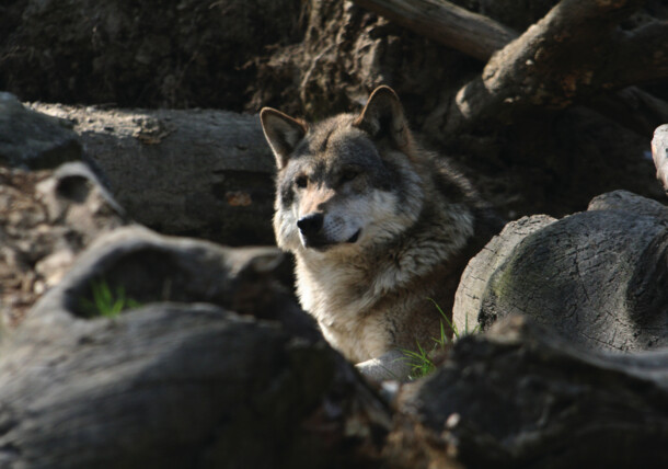 Loup au zoo alpin d'Innsbruck