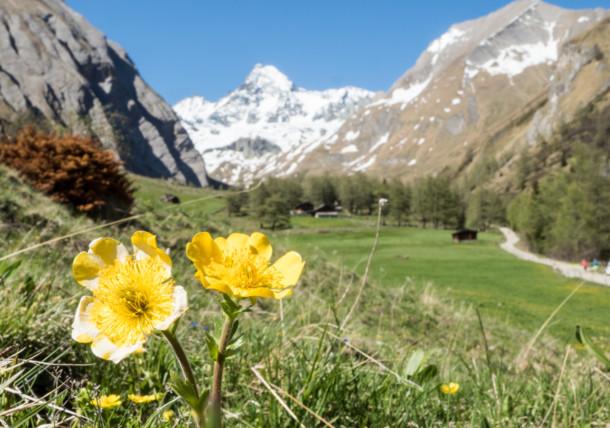 Aufgeblühte Bergwiesen in Hohe Tauern