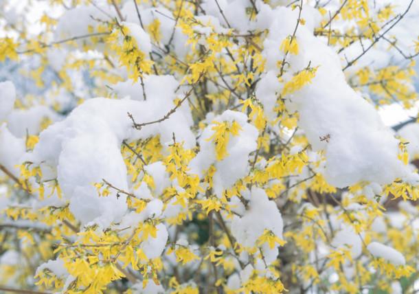 Spaeter Schnee /   Forsythien