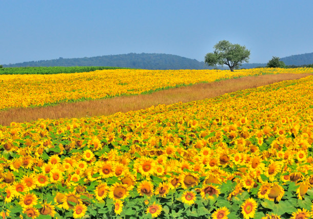 Sunflowers in nature park
