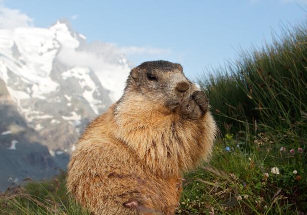 Grossglockner High Alpine Road Marmot