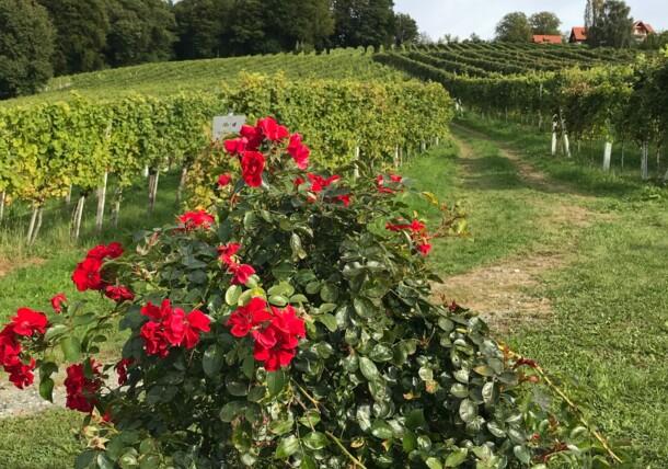 Weingarten Sausal