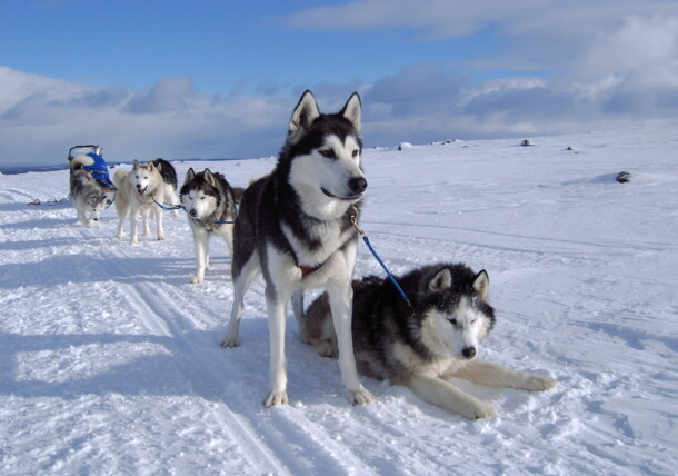 """Visit """"Husky Toni"""" and his dogs and ride a dogsled"""